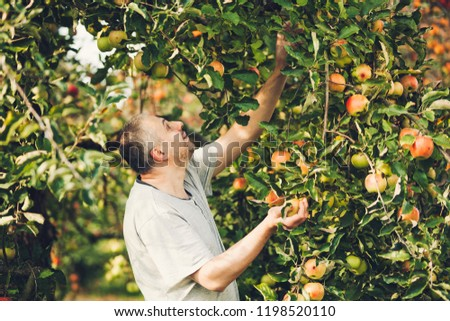 Happy farmer man picking apples from an apple tree in garden at harvest time