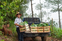 Happy farmer putting his cabbage crop on his pickup truck.
