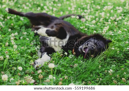 Stock Photo happy fluffy  black dog lying and rolls on the grass in clover