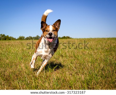 Happy, focused Australian cattle dog looking at viewer while running in field