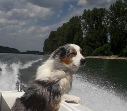 Happy funny Australian Shepherd dog boating on the river Rhine. He totally enjoys it. His hair is blowing in the wind.