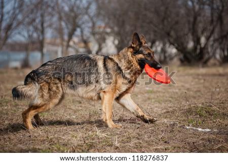 Happy funny German shepherd run with disc