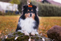 Happy funny Halloween postcard with sable black white shetland sheepdog, sheltie with d orange pumpkin and little ghost. Small collie, lassie dog on all saints eve with spook lanterns at autumn