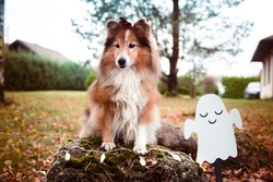 Happy funny Halloween postcard with sable white shetland sheepdog, sheltie with hairpin in shape of orange pumpkin . Small collie, lassie dog on all saints eve with autumn yellow leaves background