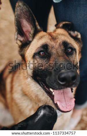 Happy German Shepherd  #1137334757