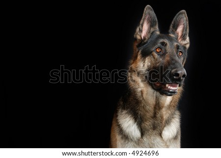 Happy German Shepherd Dog, black background