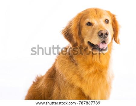 Happy Golden Retriever dog #787867789