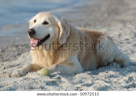 Happy golden retriever dog at the beach