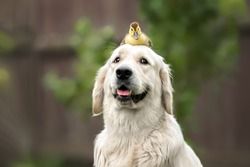 happy golden retriever dog with a duckling on her head