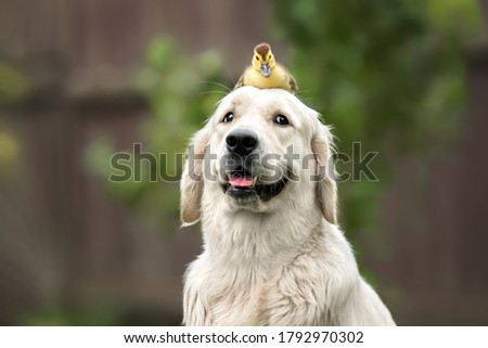 happy golden retriever dog with a duckling on her head Foto stock ©