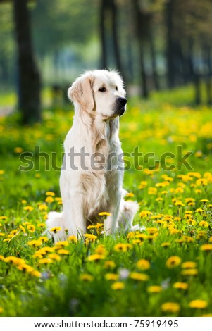 Happy Golden Retriever in flower field of yellow dandelions