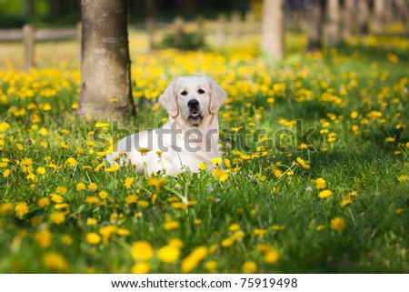 Happy Golden Retriever in flower field of yellow dandelions