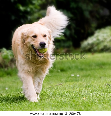 golden retriever. golden retriever playing