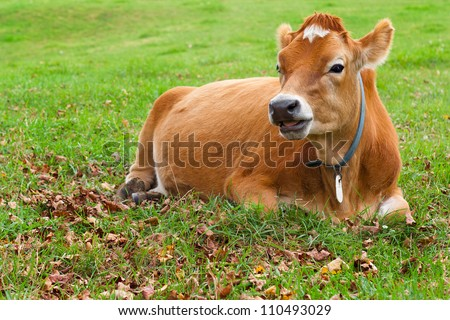 Happy grass fed dairy cow