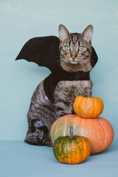 Happy Halloween. Cute funny tabby cat dressed as bat with black wings and orange pumpkins. Halloween party concept. Trick or treat. Space for text.