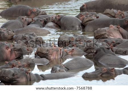 happy Hippopotamus (always smiling) in the marra river in the masai mara reserve in kenya africa