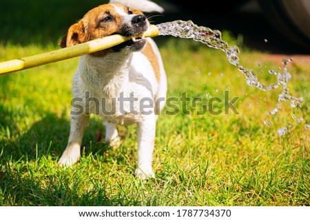 happy jack russell terrier holding a watering hose in his teeth from which a stream of water runs on a summer sunny day, gardening, horizontal design