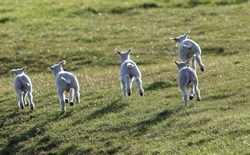 Happy jumping newborn lambs in a meadow in spring.