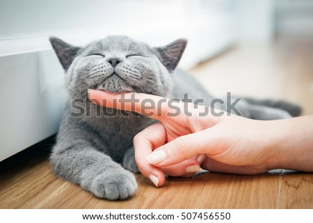 Happy kitten likes being stroked by woman's hand. The British Shorthair #507456550