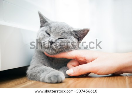 Happy kitten likes being stroked by woman's hand. The British Shorthair