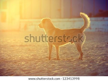 Happy Labrador Retriever playing at the beach.Sunset - stock photo