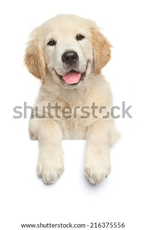 Happy Labrador retriever puppy above banner, isolated on white background