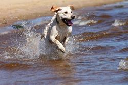 Happy labrador retriever running and splashing in water