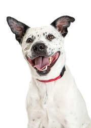 Happy large mixed breed dog mouth open and tongue out to smile while looking up