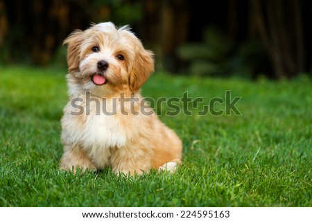 Happy little orange havanese puppy dog is sitting in the grass