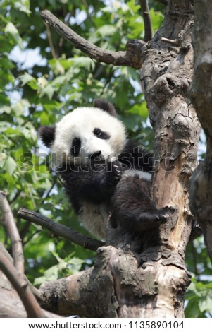 Happy Little Panda on the Tree, Dujiangyan, China
