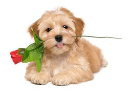Happy lover havanese puppy dog lying with an artificial red rose in her mouth, isolated on white background