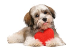 Happy lover valentine havanese puppy dog with a red heart - isolated on white background