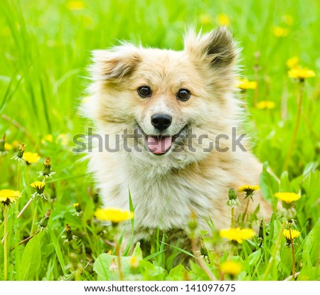 Happy mixed breed dog in flower field of yellow dandelions