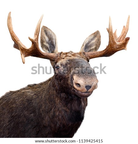 Happy Moose (or Elk) isolated on white.