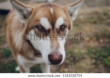Free Photos Close Up On Red Eyes Of A Husky Dog Avopix Com