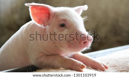 Happy newborn piglet in a commercial swine farm Photo stock ©