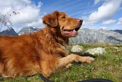 Happy Nova Scotia Duck Tolling retriever dog on an alpine meadow in the mountains of Autria