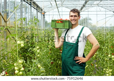 Happy organic farmer harvesting tomatoes in greenhouse