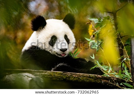Happy Panda putting his tongue out