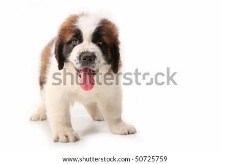 Happy Panting Saint Bernard Puppy on White Background