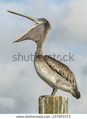 Happy Pelican A pelican, mouth wide open and standing on a piling, is happy about his morning feast of fish in Jupiter, Florida.