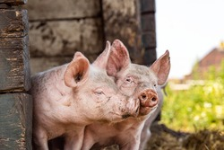 Happy piglets, two cheeky funny young swines playing together with love