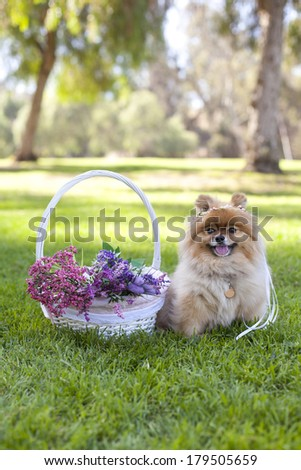 Happy pomeranian sitting next to basket of flowers, spring time, with wreath on the head