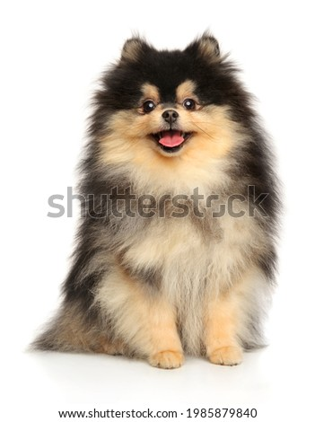 Happy Pomeranian Spitz dog on white background, front view Stock foto ©