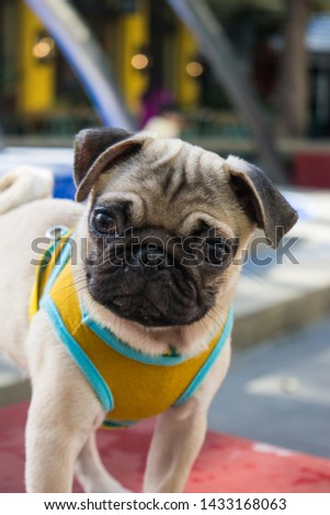 HAPPY PUG PICTURE COLOR FAWN
