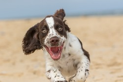 Happy puppy running on the beach. Crazy dog having fun. Funny animal meme image of a bouncy spaniel puppy face with a happy expression. Close-up of an excited white and brown liver spot sprocker dog.