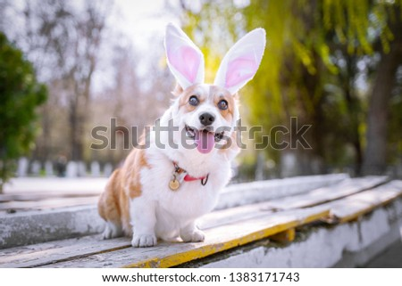 Happy purebred Welsh Corgi dog  dressed up with bunny ears costume for Easter celebration for a walk in the park at sunny lawn #1383171743