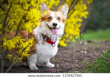 Happy purebred Welsh Corgi dog   is standing in a blooming beautiful colorful trees in spring in the park #1370427965