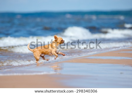 happy red chihuahua dog running on the beach