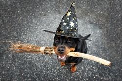 happy rottweiler dog in a wizard hat holding a broom in mouth